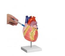 Herzmodell, 2-fache Lebensgröße, 2 Teile 1
