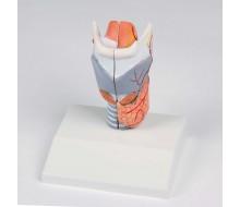Kehlkopfmodell, natürliche Größe, 2-teilig 1