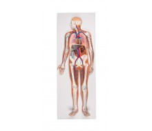 Blutkreislauf Reliefmodell, ½ natürliche Größe, 2-teilig 1