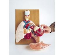 Herz-Lungenmodell 1