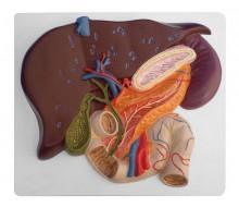 Leber mit Gallenblase, Pankreas und Duodenum 1
