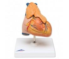 Klassik-Herz mit Thymus, 3-teilig