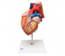 Herz mit Luft- und Speiseröhre, 2-fache Größe, 5-teilig