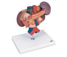 Nieren mit hinteren Oberbauchorganen, 3-teilig