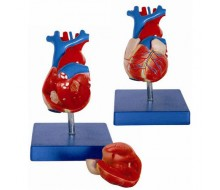Herzmodell Lebensgroß