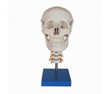 Schädelmodell mit Halswirbelsäule
