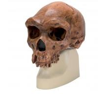 Anthropologischer Schädel - Broken Hill