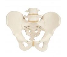 Becken-Skelett, männlich