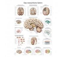 """Lehrtafel """"Das menschliche Gehirn"""" (englisch)"""