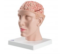 Gehirn Modell mit Arterien