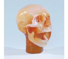 Dental Röntgen-Phantomkopf