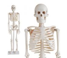 Skelett Modell 85cm mit Stativ
