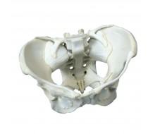 Weibliches Becken-Skelett mit Bändern