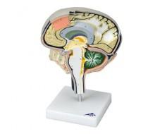 Gehirn Modell - Gehirnschnitt
