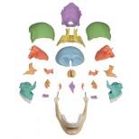 Osteopathie Schädel Modell, magnetisch 22-teilig