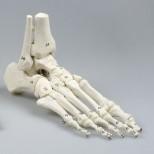 Modell Fußskelett mit Schien- und Wadenbeinansatz, flexibel, nummeriert
