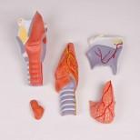 Kehlkopfmodell, 2-fache Größe, 5-teilig 2