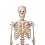 Skelett Stan Oberkörper