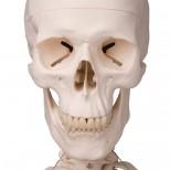 Skelett Stan Schädel von vorn