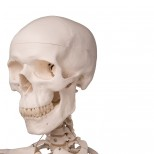 Skelett Stan Schädel und Hals