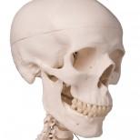Skelett Stan Schädel
