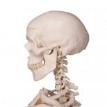 Skelett Stan Schädel und Hals von Hinten
