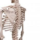 Skelett Stan Rückem von Hinten