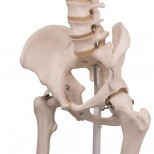 Skelett Stan Becken