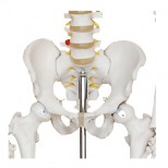 Skelett Modell Becken