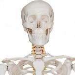 Skelett Modell Torso 1