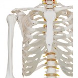 Skelett Modell Torso 2