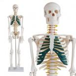 Skelett Modell mit Spinalnerven vor weißem Hintergrund