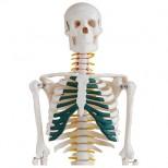 Skelett Modell mit Spinalnerven vor weißem Hintergrund oberer Teil
