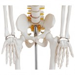 Skelett Modell mit Spinalnerven vor weißem Hintergrund Beckenansicht