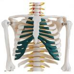 Skelett Modell mit Spinalnerven vor weißem Hintergrund Torso