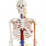 Skelett Modell Detail