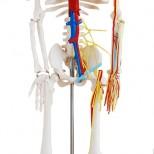 Skelett Modell Hüfte