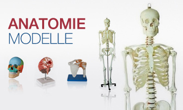 Anatomie Modelle