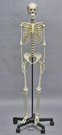 skelett-heranwachsender
