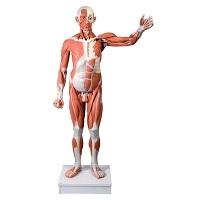 muskulatur-modell-kaufen