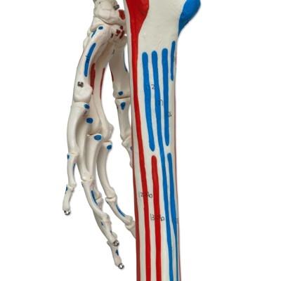 skelett-mit-arterien