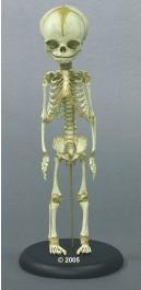 fetusskelett-woche-30