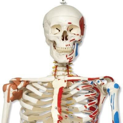 skelettmodelle-kaufen
