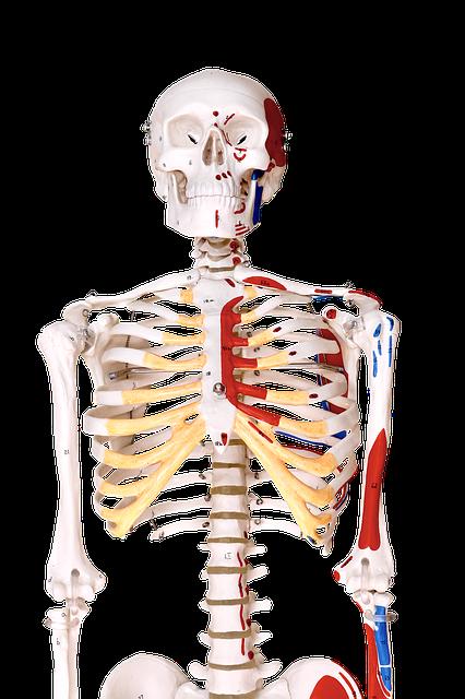 premium-skelett