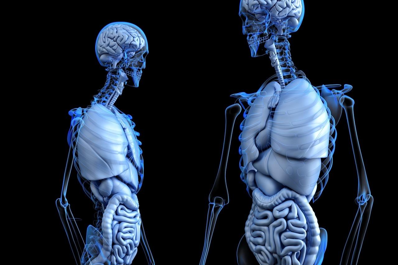 skelett-kaufen-anatomy-online