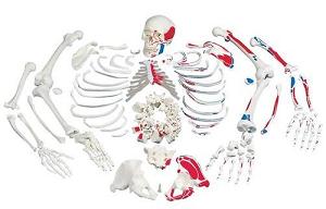 skelett-in-einzelteilen